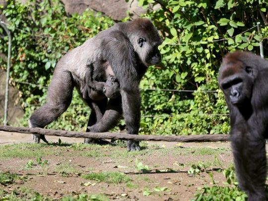 Anju walks with her daughter, Elle in Gorilla World