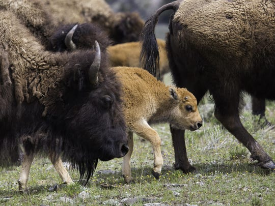 A bison calf travels with a herd in Yellowstone. Visitors