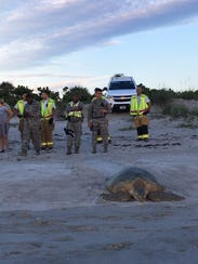 A 300-pound turtle was relocated to the beach after