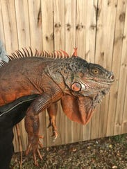Animal Services officers were able to lure a displaced iguana found in a resident's laundry room.
