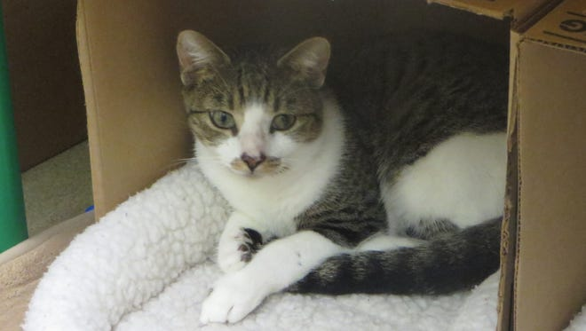 Poncho, here! I'm a 9-month-old neutered male white and brown tabby domestic short hair.