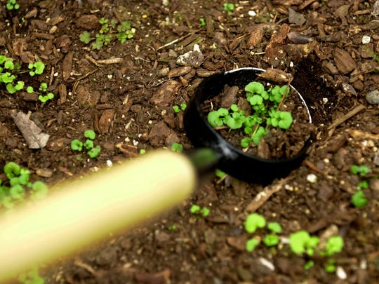 The long circular hoe can be used to pull weeds while