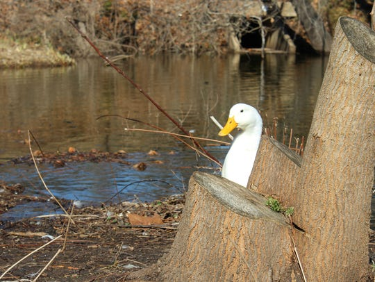 Wildlife rehabilitators rescued an American Pekin duck, like this one, that was shot through the head with an arrow.