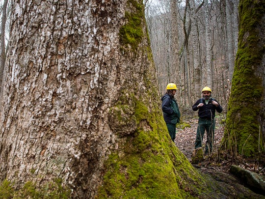 Cathy Dowd, left, a public affairs officer, and Gary Kauffman, an ecologist with the U.S. Forest Service, stand by 400-year-old tulip poplar trees in the Joyce Kilmer Memorial Forest.