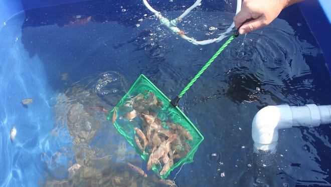 Juvenile red snapper were released at an artificial reef south of Ship Island last week.
