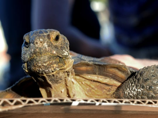 Lou, a desert tortoise, waits to be blessed at The Blessing of Animals hosted by Saint Paul's Episcopal Church in Ventura on Saturday.