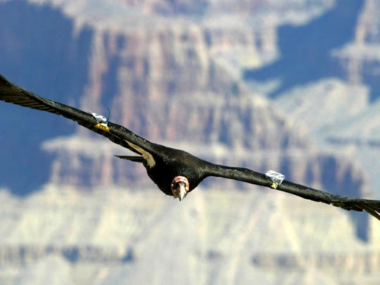 A California condor soars over the Grand Canyon in this undated photograph.