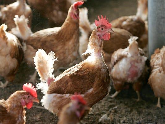 D05 BLL chicken Farm 11