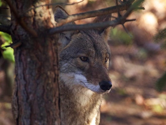 Kenai is one of four eastern coyotes at Wolf Mountain