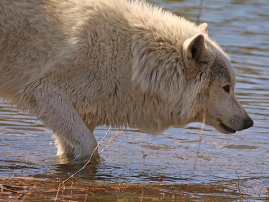 Nakoa is one of four arctic/Alaskan wolves at Wolf