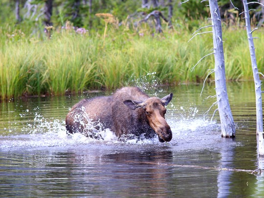 A mama moose shakes off while eating off the bottom