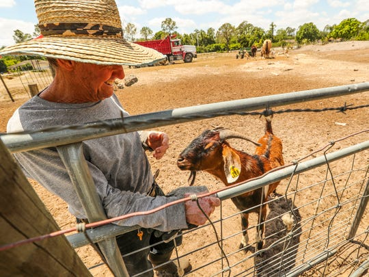 A ranch hand at Rancho Antony & Roman, Carlos Cubria, tends to the animals Thursday afternoon.