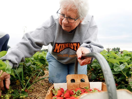 Eloise Brehm of Wisconsin Rapids picks strawberries