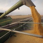 Soybeans are poured into a grain wagon while harvesting.