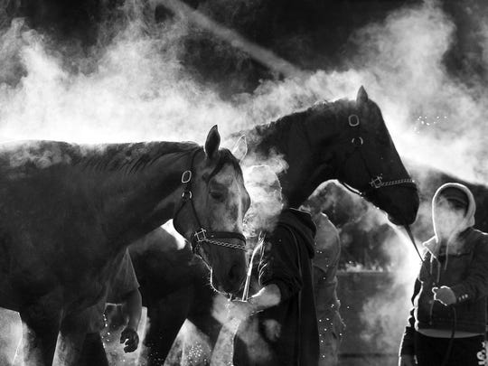 Steam rises from freshly-bathed thoroughbreds on the backside at Churchill Downs.