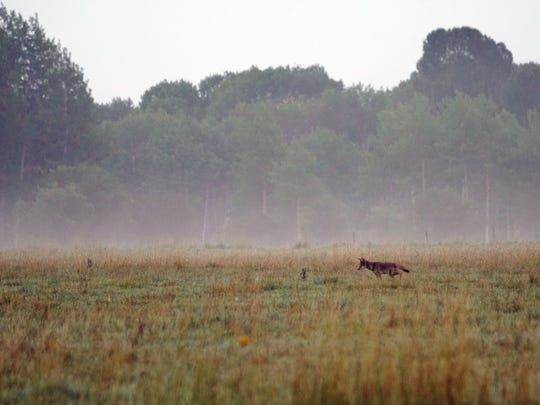 A coyote searches for breakfast in a field bordering Grand Teton National Park.