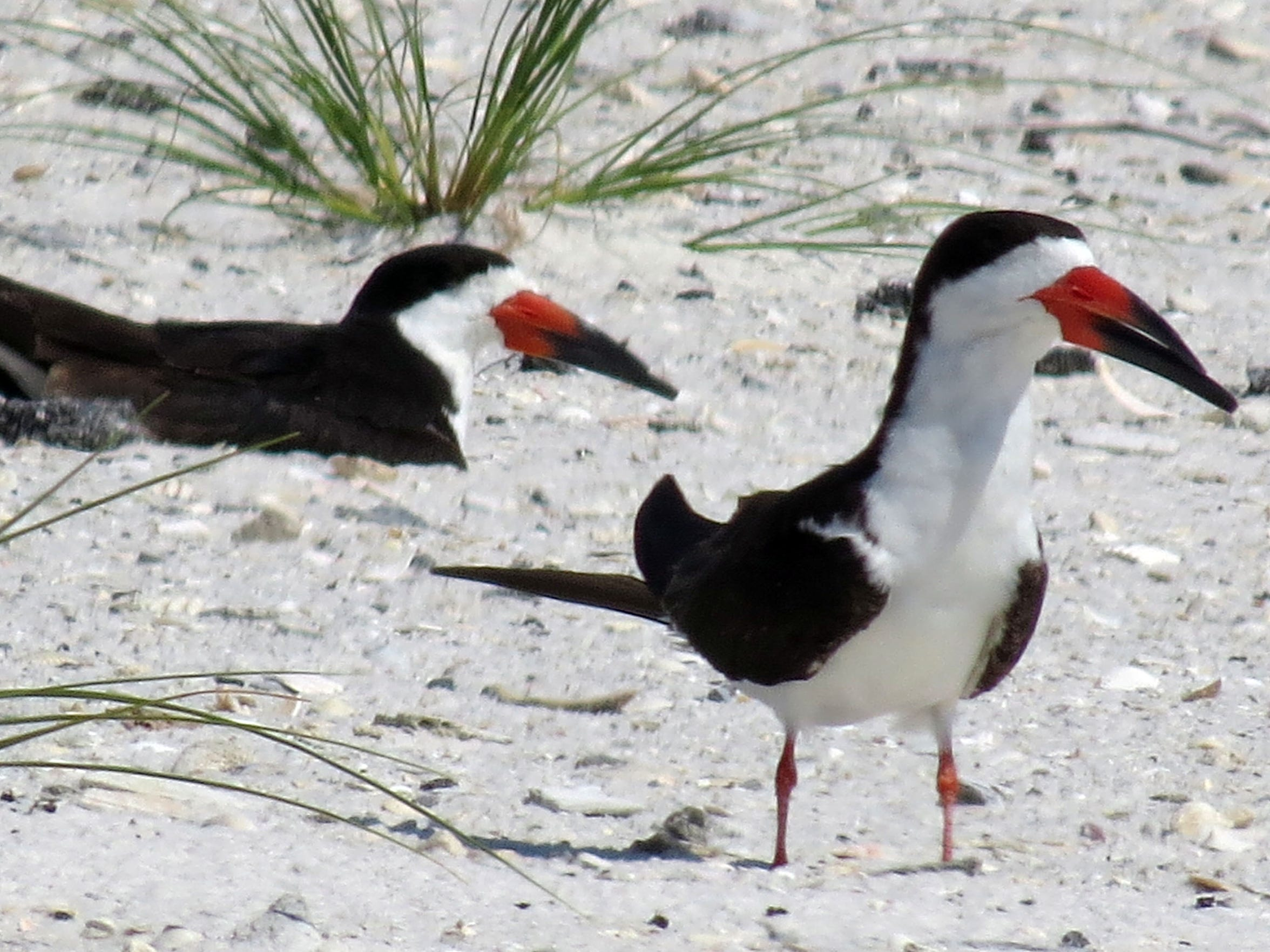 Black Skimmers inside the Ft. Pickens area of the Gulf