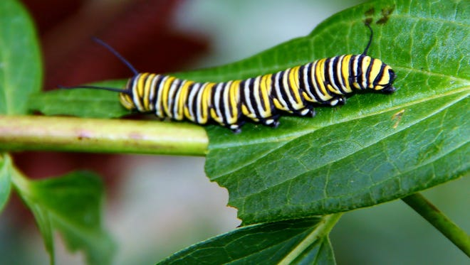 This Monarch caterpillar is one of several found on this milkweed plant.