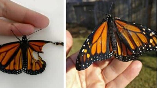 The Monarch butterfly before and after surgery.