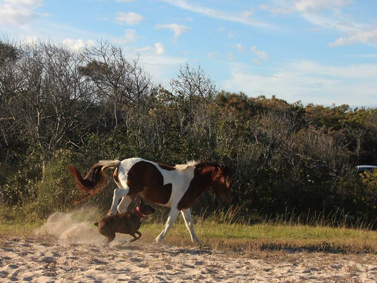 A series of photographs captures an interaction between two dogs and an Assateague horse on Sunday, Oct. 29. The incident is under investigation by National Park officials.