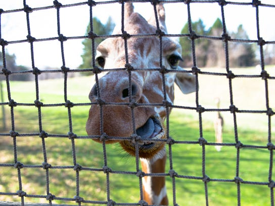A giraffe at Binder Park Zoo waits to get a snack Saturday.