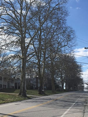 Sycamore trees planted in the early 1920s as a memorial to World War I veterans line a section of the Susquehanna Trail just south of Constitution Avenue near Shrewsbury.