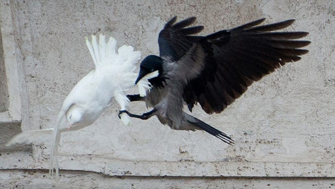 A dove, which was freed by children with Pope Francis during his Angelus prayer, is attacked by a black crow in St. Peter's Square, at the Vatican, Jan. 26, 2014.