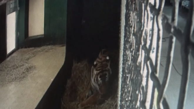 Screen grab of Api, the Malayan tiger, that gave birth to three cubs.