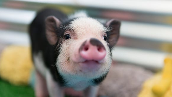 Closeup of a mini pig baby.