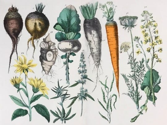 Root vegetables from an historic field guide in the collection of The Lloyd LIbrary