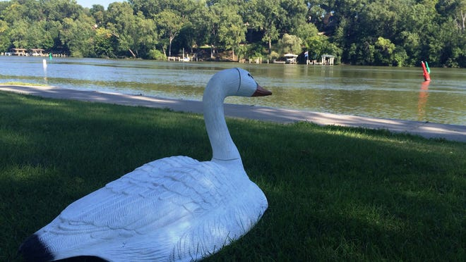 Appleton has placed six swan decoys at Lutz Park to ward off Canada geese.