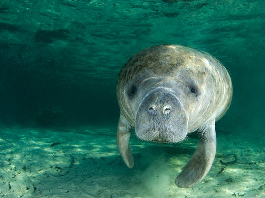 The Manatee & Dolphin Encounter Paddle & A Pint will be on March 24, 2019 starting at 10:30 a.m.