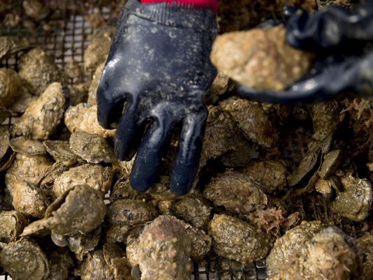 Harvesting At MiFarm Oysters Inc. As Governor Declares Virginia Oyster Capital Of East Coast