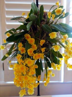 Kathy Carmichael's yellow dendrobium orchid.