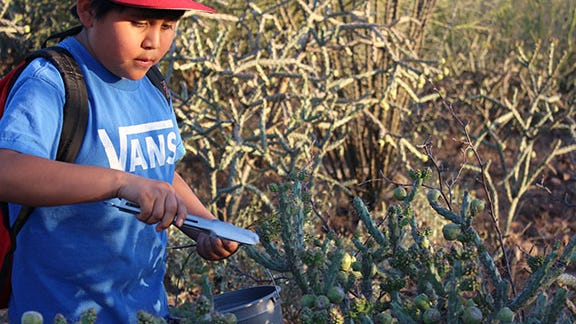 A young boy harvests cholla buds.