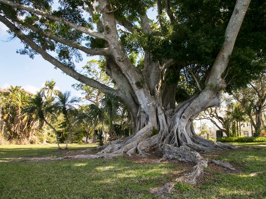 The ficus tree that shades Snell Family Park in Fort Myers is a favorite climbing tree for neighborhood children.