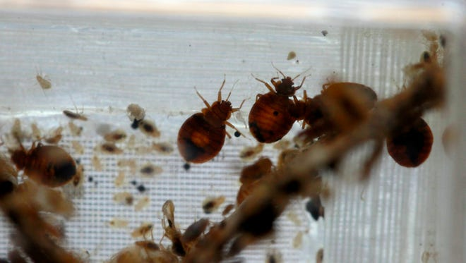 Bedbugs are seen in a container from the lab at the National Pest Management Association, during the National Bed Bug Summit in Washington, Tuesday, Feb. 1, 2011.
