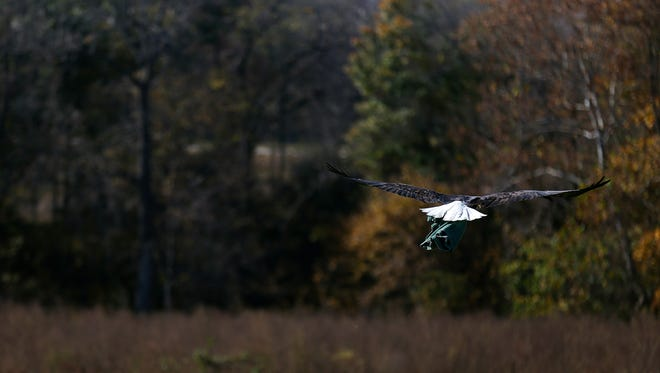 Dr. Rodney Schnellbacher of the Dickerson Zoo releases a bald eagle from rehab into the wild at a farm near Bois d'Arc, Mo. on Oct. 22, 2015.