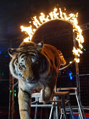 A tiger leaps through a ring of fire at the Barak Shrine Circus