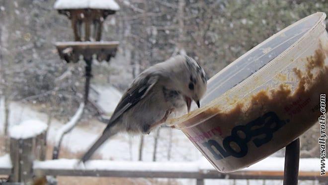 "Our resident ""leucistic"" (partial albino) mountain chickadee, ""Snowflake,"" enjoying peanut butter."
