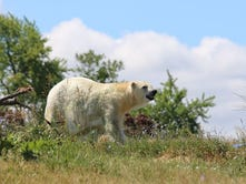 Former Indianapolis Zoo polar bear Tundra dies in Detroit