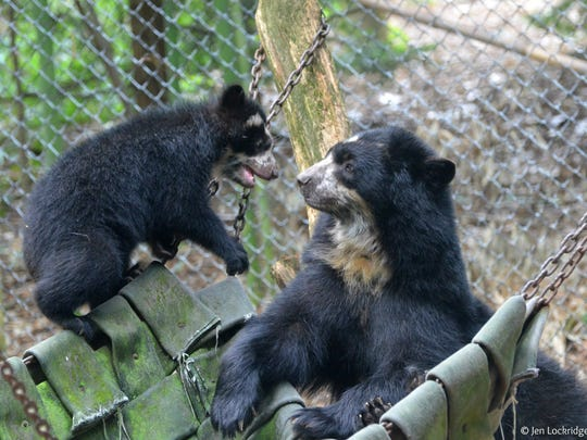 Andean bear cub Alba, left, and her mother, Chaska, at the Salisbury Zoo.
