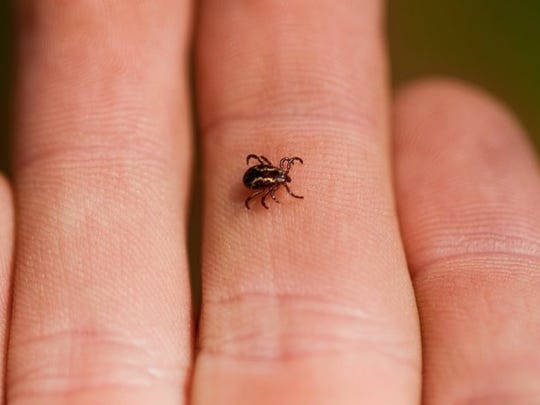 A wood tick is seen in this undated photo.