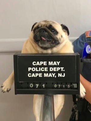 """This photo provided by the Cape May N.J. Police Department shows """"Bean"""" a pug dog being photographed at the Cape May Police Dept., in Cape May, N.J.   The dog is home after police in the New Jersey shore town posted its mugshot on social media. Cape May Patrolman Michael LeSage found Bean the pug in a yard on Sunday, July 15, 2018.   Police posted a photo of Bean on Facebook with the caption: """"This is what happens when you run away from home."""" It took a few hours before Bean's owners tracked her down.  (Cape May N.J. Police Department via AP)"""