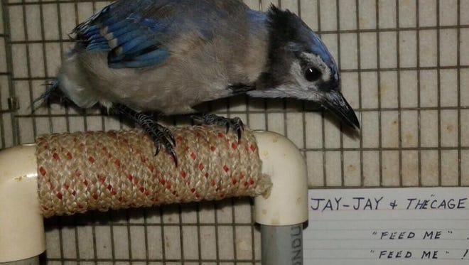 Jay-Jay the blue jay
