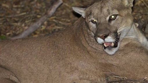 Researchers began tracking an adult male mountain lion known as P-45 in 2015 in the Santa Monica Mountains.