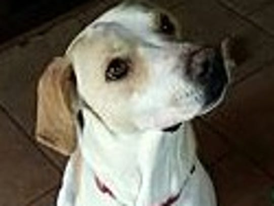 Lady Anne is a 2-year-old, spayed, female Labrador