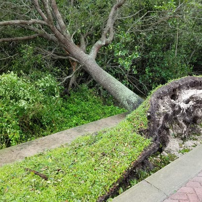hurricane matthew blew over big tree in small area