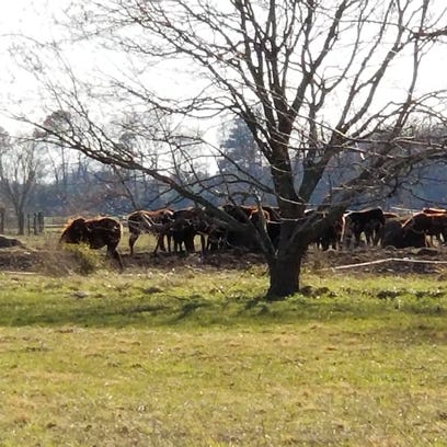 Horses graze at a home in Quantico on Friday after