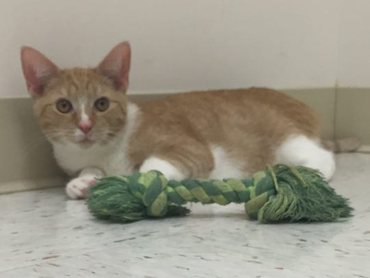 """If you're looking for a bundle of energy and fun, Alan is the guy for you. He's a 5-month-old, orange-and-white boy who loves to run and play. During his photo session he got the """"rips"""" (racing around the room) more than once. Despite his energy, he'll also slow down and want to purr and cuddle. Alan is the whole package!"""